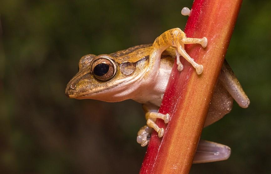 В Эквадоре новый вид лягушек назвали в честь рок-группы Led Zeppelin