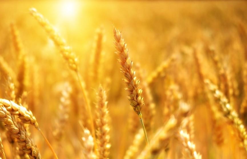 Правительство вводит запрет на вывоз некоторых зерновых из Беларуси