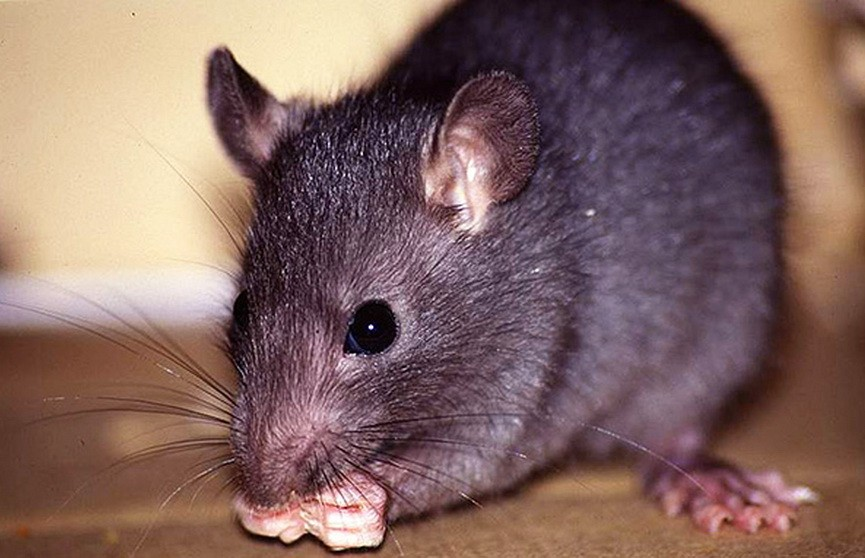 Зафиксирован первый случай заражения человека крысиным гепатитом Е