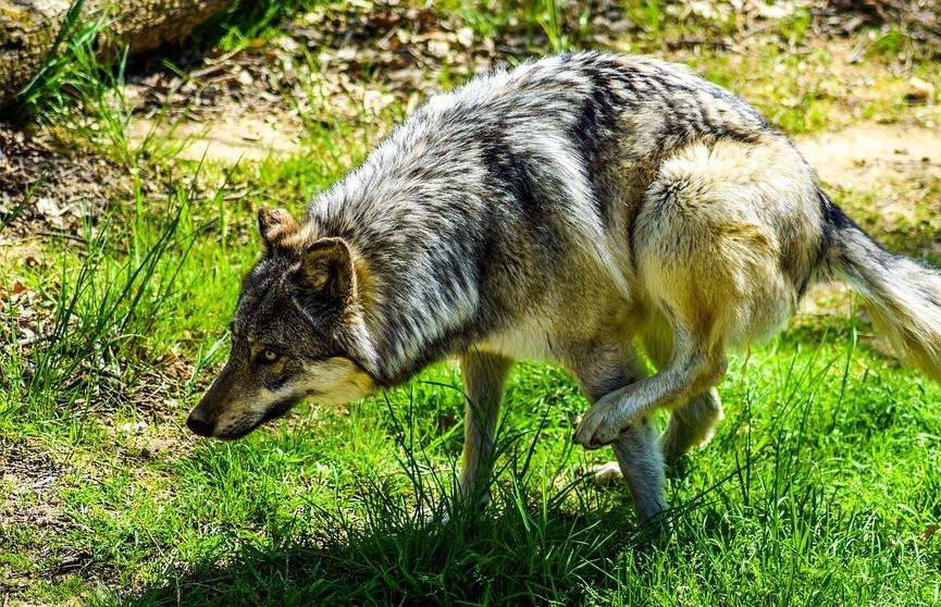 Мужчина задушил напавшую на него бешеную волчицу