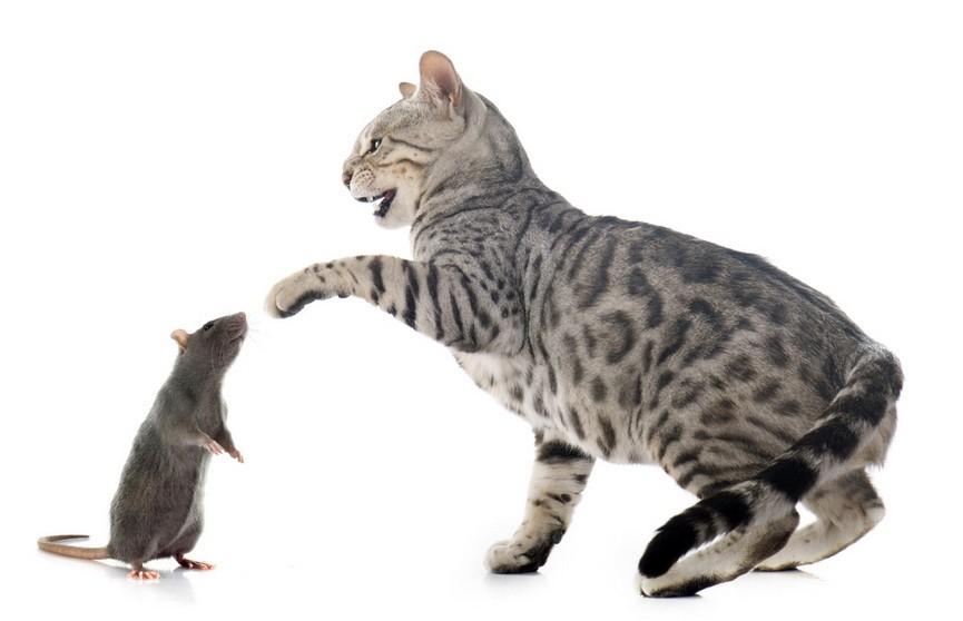 Видео: огромная крыса устроила погоню за котом