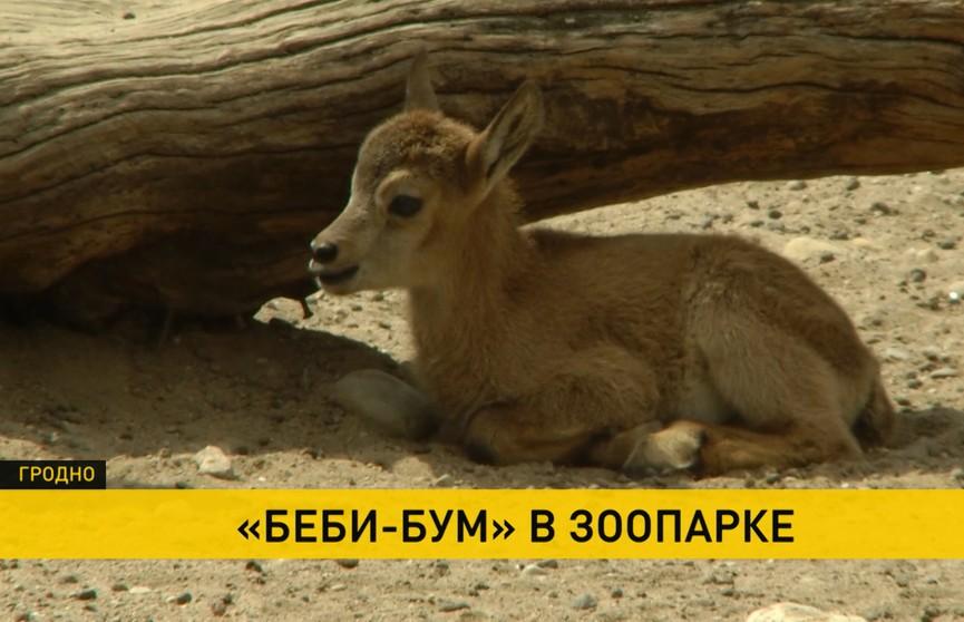 В Гродненском зоопарке пополнение. За неделю родились три малыша