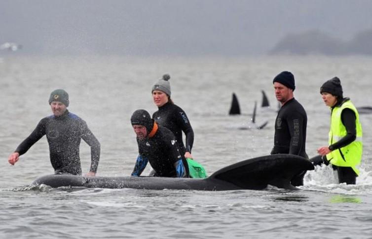 350 выбросившихся на берег китов погибли на берегу Тасмании