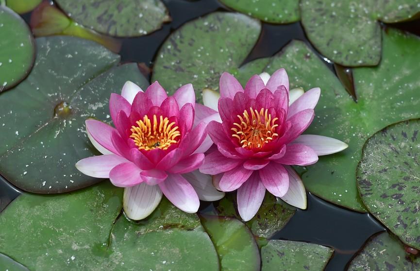 Водяные лилии зацвели в китайском парке Дунхуань. Посмотрите, какие красивые (ФОТО)