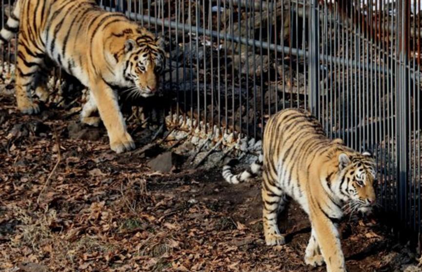 Лев и тигры сбежали из чешского зоопарка: животных нашли в лесу