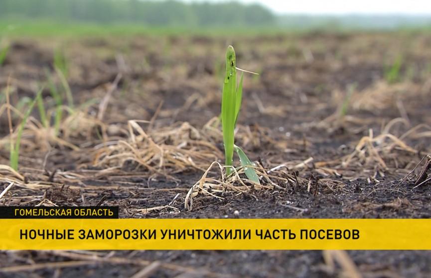Ночные заморозки уничтожили посевы на Гомельщине: как можно спасти будущий урожай?