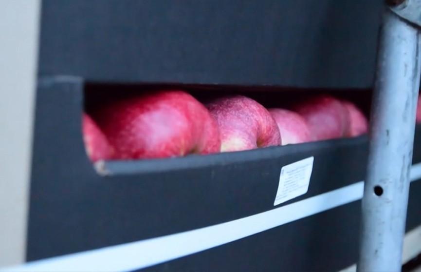 38 тонн «санкционных» яблок пытались вывезти из Беларуси