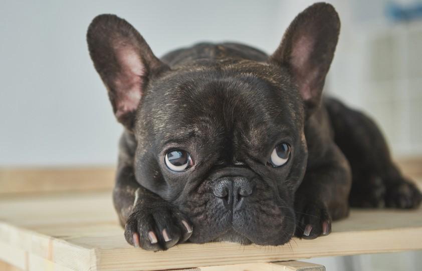 Собаку стригли, а шерсть летела прямо на бульдожку рядом. Только посмотрите на его реакцию – 100% будете смеяться! (ВИДЕО)