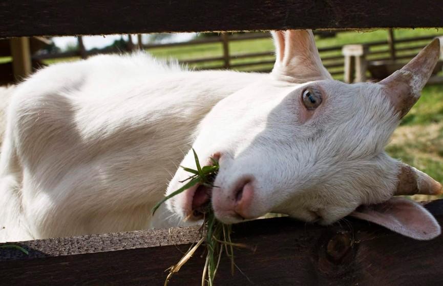 Коза съела 20 тысяч евро, а потом хозяева съели её
