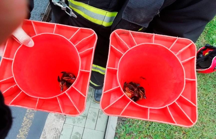 Семерых утят спасли из ливневой канализации в Минске (ФОТО)