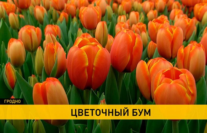 К 8 Марта гродненские цветоводы вырастили сотни тысяч тюльпанов, мимоз, лилий и роз