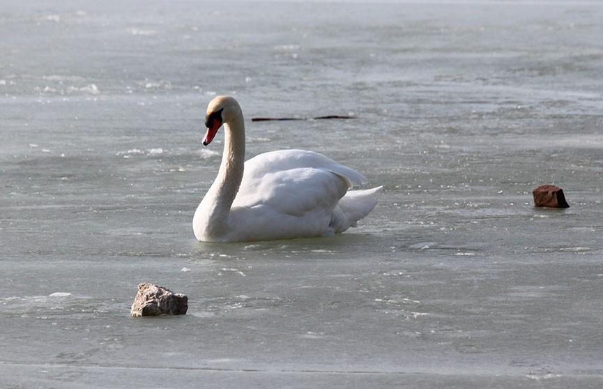В Пружанском районе охотники спасали вмерзших в лед лебедей