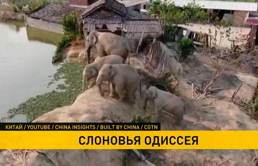 Мигрирующие слоны в Китае стали причиной эвакуации 150 тысяч человек
