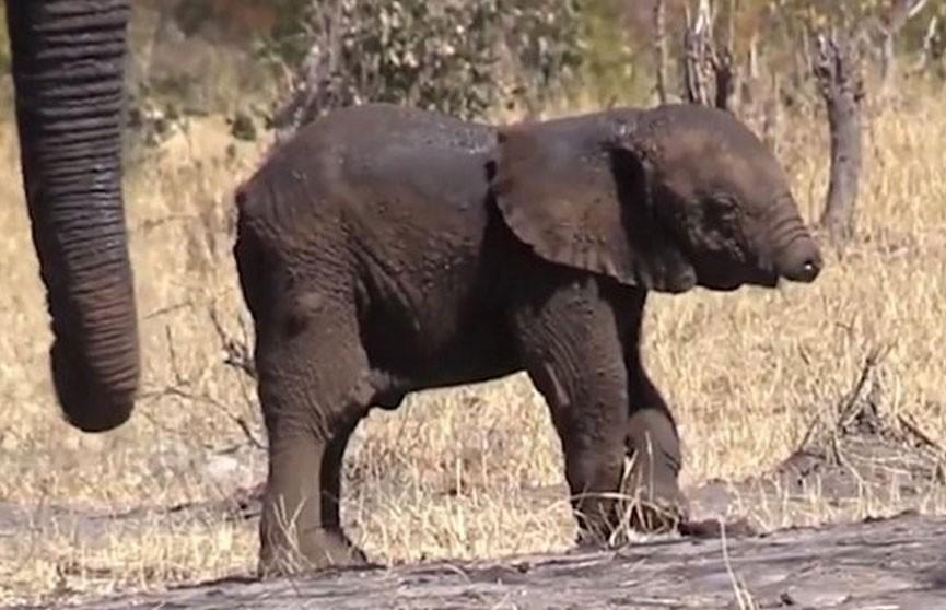 Слонёнка без хобота заметили в ЮАР