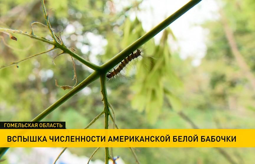 Бабочка-вредитель угрожает фруктовым садам Гомельской области