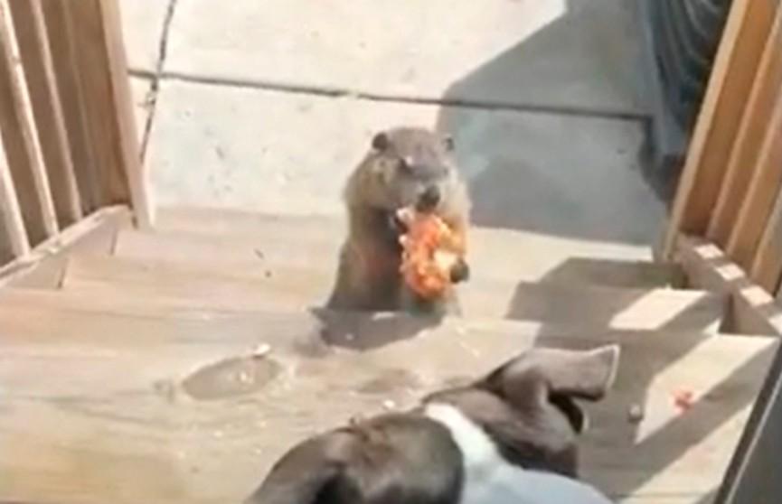 Дерзкий сурок дразнит пиццей двух собак – очень смешное видео