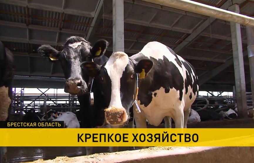 Как работает полесское сельхозпредприятие «Парохонское», где содержат самое большое в стране поголовье скота