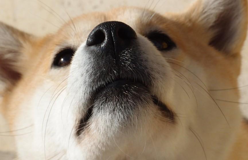 «Уже 20 раз пересмотрела, и не могу остановиться»: хрюкающая собака до слез рассмешила Сеть