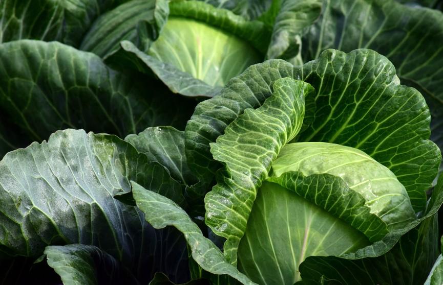 Как вырастить капустную рассаду и чем ее удобрять: 5 секретов опытных  огородников