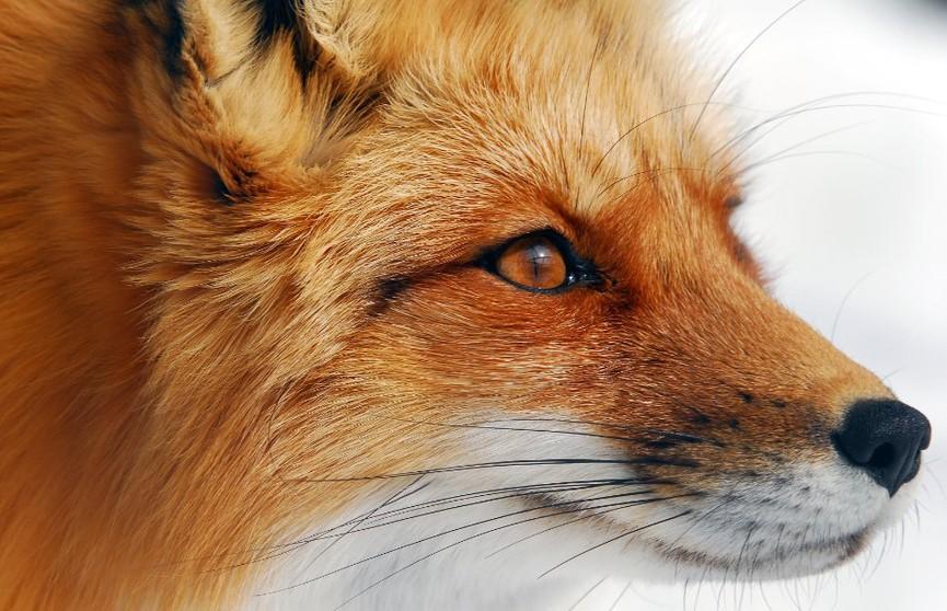 Дикая лиса проникла в дом и искусала спящую женщину