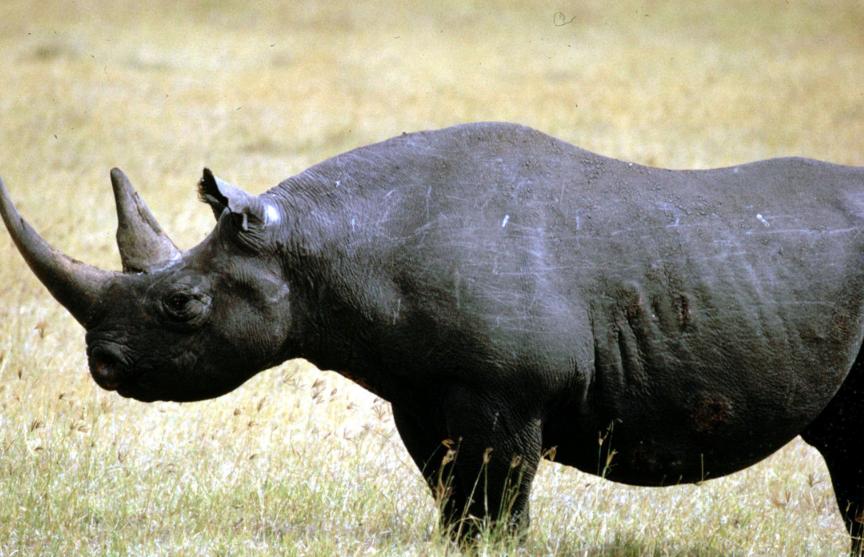 В Танзании умерла самая старая самка черного носорога