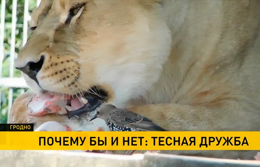 Необычная дружба между скворцом и львицей завязалась в Гродно