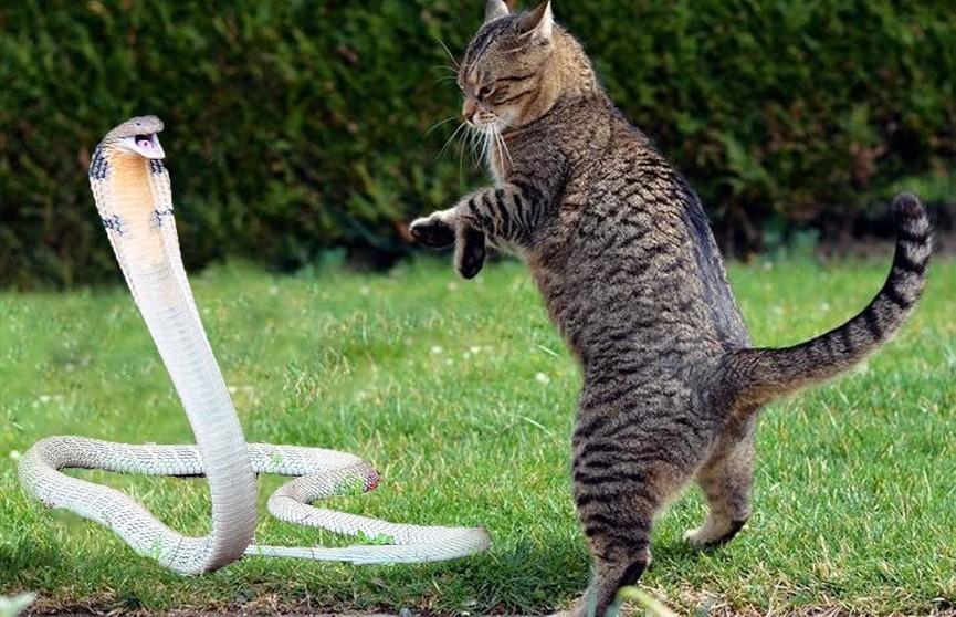 Кот защитил детей от нападения кобры (ВИДЕО)