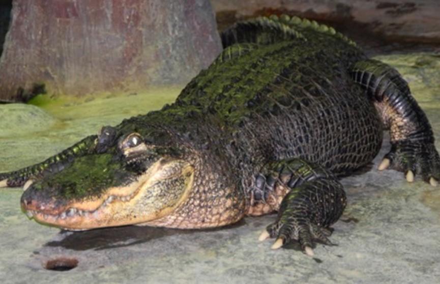 В Московском зоопарке скончался знаменитый 84-летний аллигатор Сатурн