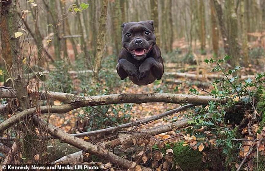 Суперпёс! Стаффордширский бультерьер научился летать, как популярный герой комиксов