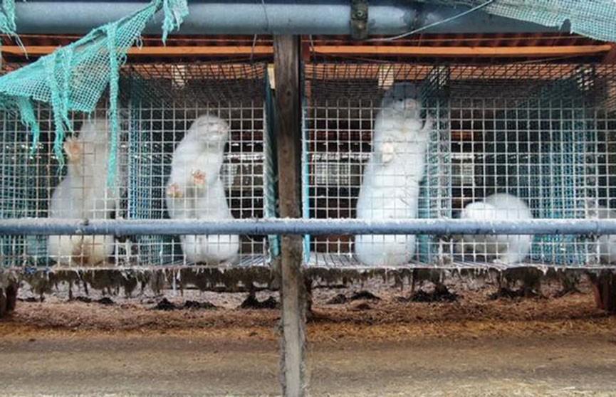 Последняя норковая ферма закрылась в Германии