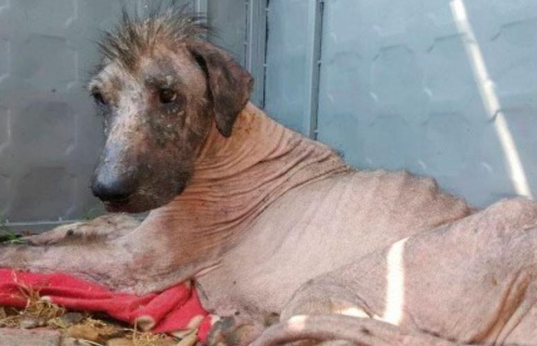 Волонтеры спасли бродячего пса – через два года он изменился до неузнаваемости (ФОТО)