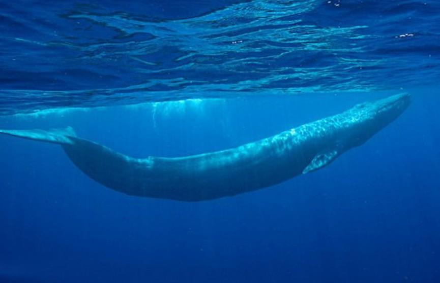 Редкого синего кита впервые за 40 лет убили в Исландии