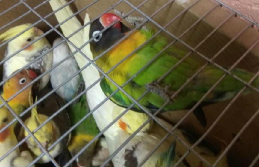 Контрабанда пернатых: мозырские пограничники задержали украинцев с 500 попугаями