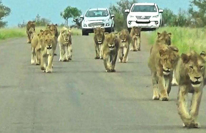 Львы перешли дорогу посетителям заповедника в ЮАР