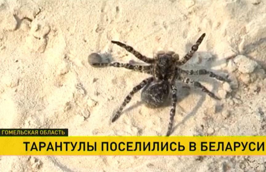 Откуда в деревне на Гомельщине взялись пауки-тарантулы?