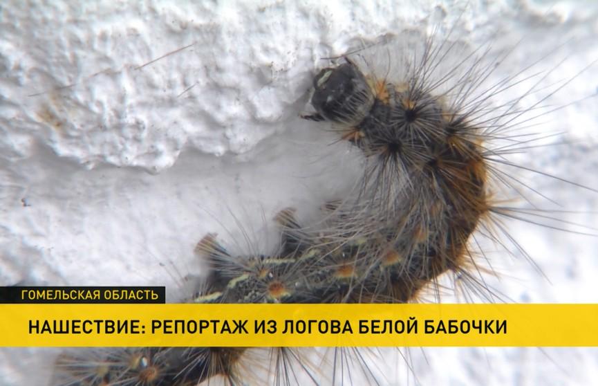 Тысячи гусениц атакуют Гомельскую область. В чем причина и откуда они взялись?