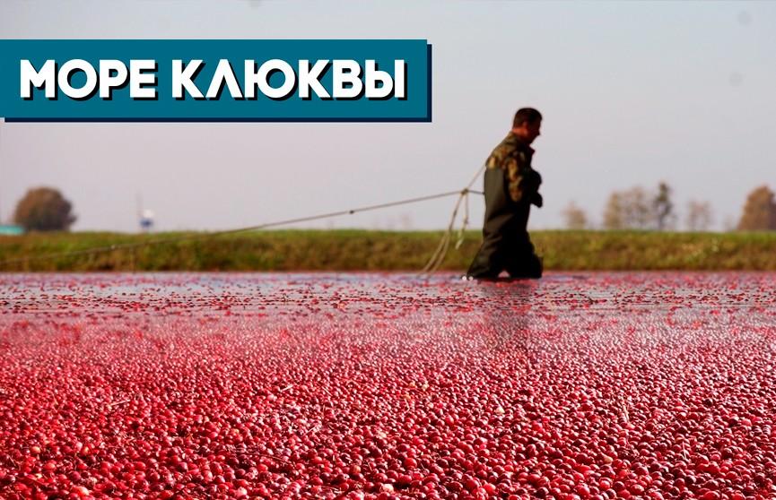 По колено в клюкве: как собирают «красное золото» на уникальном предприятии в Полесье