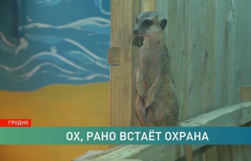 У сурикатов в гродненском зоопарке есть свои дозорные