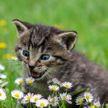 Кошка с громким голосом никогда не заблудится в траве (ВИДЕО)
