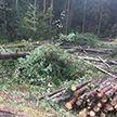 Спиленное дерево упало на кабину проезжавшего мимо МАЗа: водитель погиб на месте