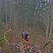 Новое место гнездования краснокнижного черного аиста обнаружили в Березинском заповеднике