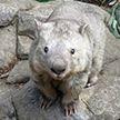 Старейший в мире вомбат умер в зоопарке Канберры в 32 года