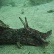 Как выглядит морской заяц – на побережье Австралии нашли странное существо