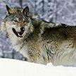 Волк напал на людей возле железнодорожной станции в Столбцах: четыре человека пострадали