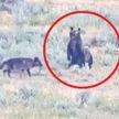 Медведица сразилась со стаей голодных волков и спасла своих детенышей (ВИДЕО)