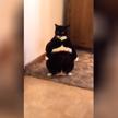 «Он похож на крошечного толстого дворецкого»: кот встал, как человек, и покорил Сеть