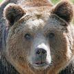 На Сахалине медведь загрыз пенсионерку на глазах у дачников