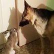 На видео попал бесстрашный заяц, который атаковал овчарку