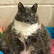 Самую толстую кошку Великобритании вернули в приют в четвёртый раз