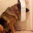 Наивные, как дети! 10 фотографий собак, которые решили, что они хорошо спрятались